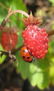 Ladybug Live Wallpaper HD