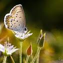Lycaena sobre Arenaria pungens