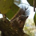Esquilo ( Squirrel)