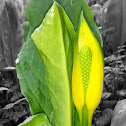 Yellow Skunk-Cabbage