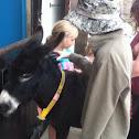 Ass (donkey)