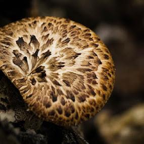 Pincushion by Laura Robles - Nature Up Close Mushrooms & Fungi ( mushroom, macro, fungi, pincushion, brown, nature, natural )