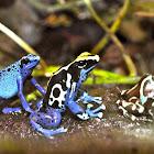 Blue Poison Dart Frog / Dyeing Poison Dart Frog