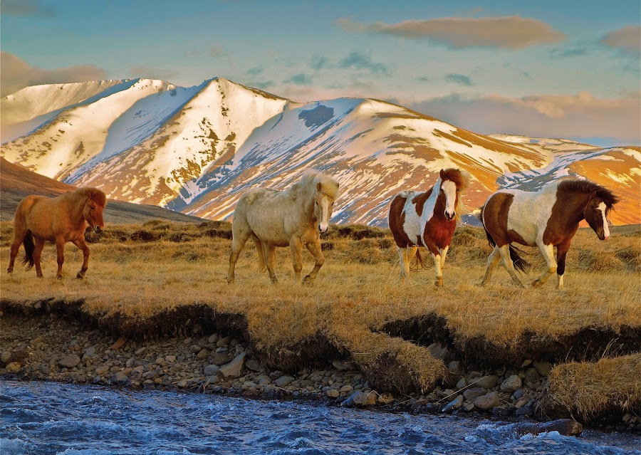 Horses in april by Kristján Karlsson - Animals Horses ( iceland, mountains, horses, autumn, river )