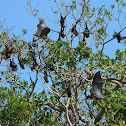 Small-island Flying Fox