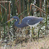 Tri-Colored (Louisiana) Heron