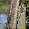 Australian Water Dragon - Female