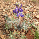 Coulter's Lupine