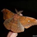 Copaxa Silk Moth