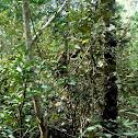 MONKEY IN SUNDARBON FOREST