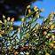Australian Cypress