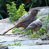 California Towhee raising a Brown Headed Cowbird