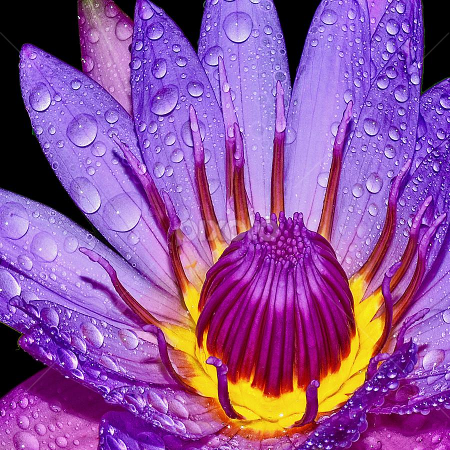 Lotus by Hafiz Ursa - Flowers Flower Buds ( water, purple, purple lotus, beautiful lotus flower, yellow, waterdrops, black background, lotus, red, water drops lotus, flower buds, blue lotus, flower )