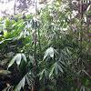 Guadua, Giant bamboo