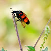 Orange Blister Beetle