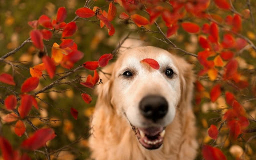 個人化必備APP下載|Golden Retriever Dog Wallpaper 好玩app不花錢|綠色工廠好玩App