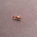 Red-Headed Bush Cricket (female)