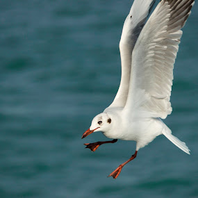 Let's Dance by Golam Kibria Sumon - Animals Birds ( bird, seagull, bangladesh, nature, sea, beauty, birds, dance, gulls )