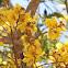 Yellow Flame Tree