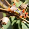 Mottled cupmoth larva & pupa