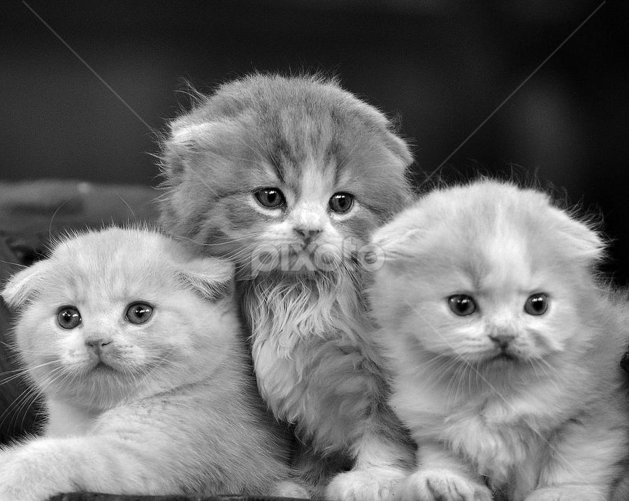 by Cacang Effendi - Black & White Animals ( cats, cattery, kitten, chandra, animal )