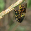 Hybrid yellowjacket