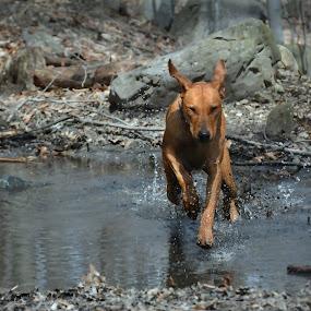 run by Sarah Poirier - Animals - Dogs Running ( dog rhodesian ridgeback water, #GARYFONGPETS, #SHOWUSYOURPETS )