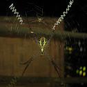 Indian signature Spider