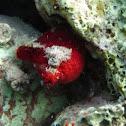 Blood-red Ascidian