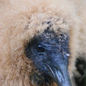 Black Vulture (juvenile)