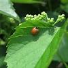 Polished Lady Beetle