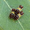 Mottled Cup Moth (caterpillars)