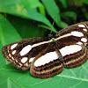 Lascar Butterfly