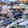 Cortinarius fungi