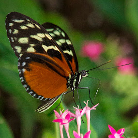butterfly on pink flowers by Christa Ehrstein - Animals Insects & Spiders ( butterfly, nature up close, flowers,  )