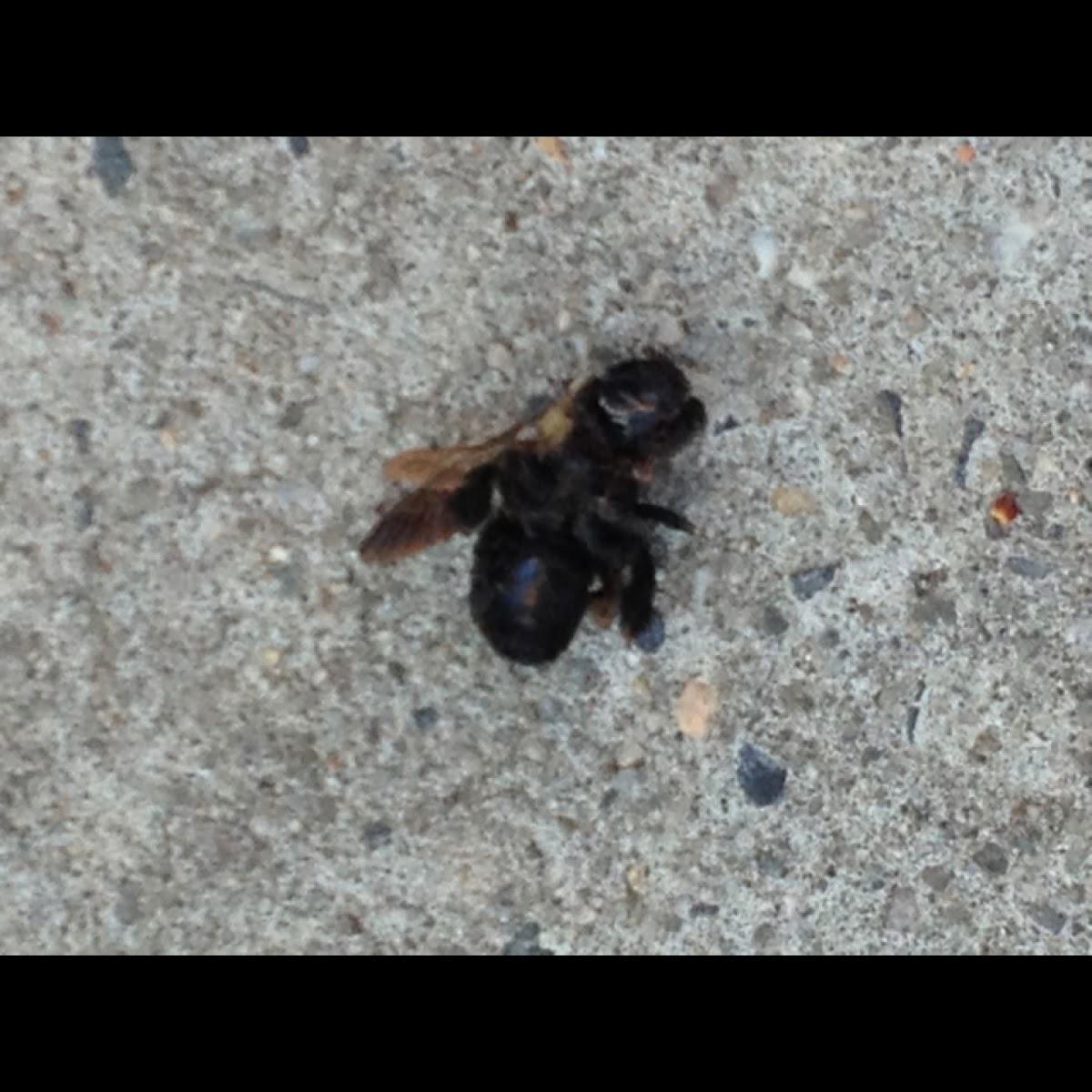 Virginia Carpenter Bee (female)