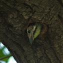 Yellow-fronted Tinkerbird