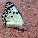 Calypso White