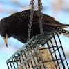 Common Starling, European Starling