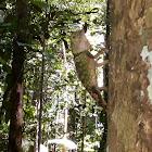 Borneo forest dragon
