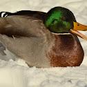 Mallard Duck - male