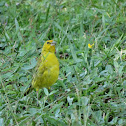 Saffron Finch (Male)