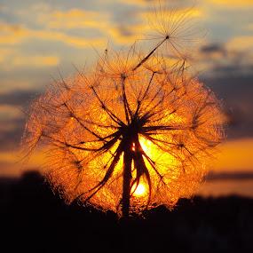 :) by Svetlana Micic - Nature Up Close Other plants ( macro, nature, dandelion, sunset, sun )