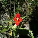 Cardinal monkey flower