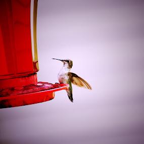 Hummingbird by Christy Julian - Animals Birds ( bird, red, hummingbird, birdfeeder, animal )