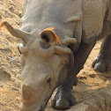 THE FAMOUS ONE HORNED Indian RHINOCEROS