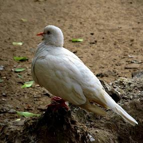 peace... by Nisha B. - Animals Birds ( pigeon, zoo, canonsx130, kolkata, peace, white, india,  )