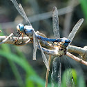 Great Blue Skimmer dragonflies (mating pair)