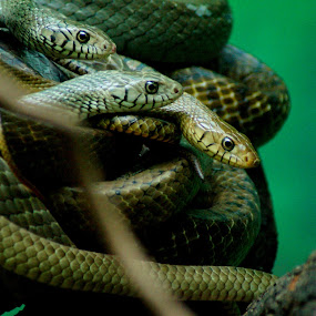 Indian Rat Snake by Faizan Hussain - Animals Reptiles ( reptiles, nature, wildlife, forest, snakes )