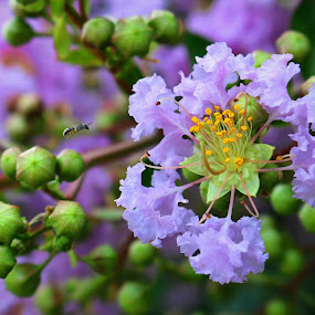 Lilac by Kenny Fendler - Flowers Tree Blossoms